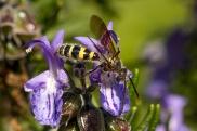 flower_wasp