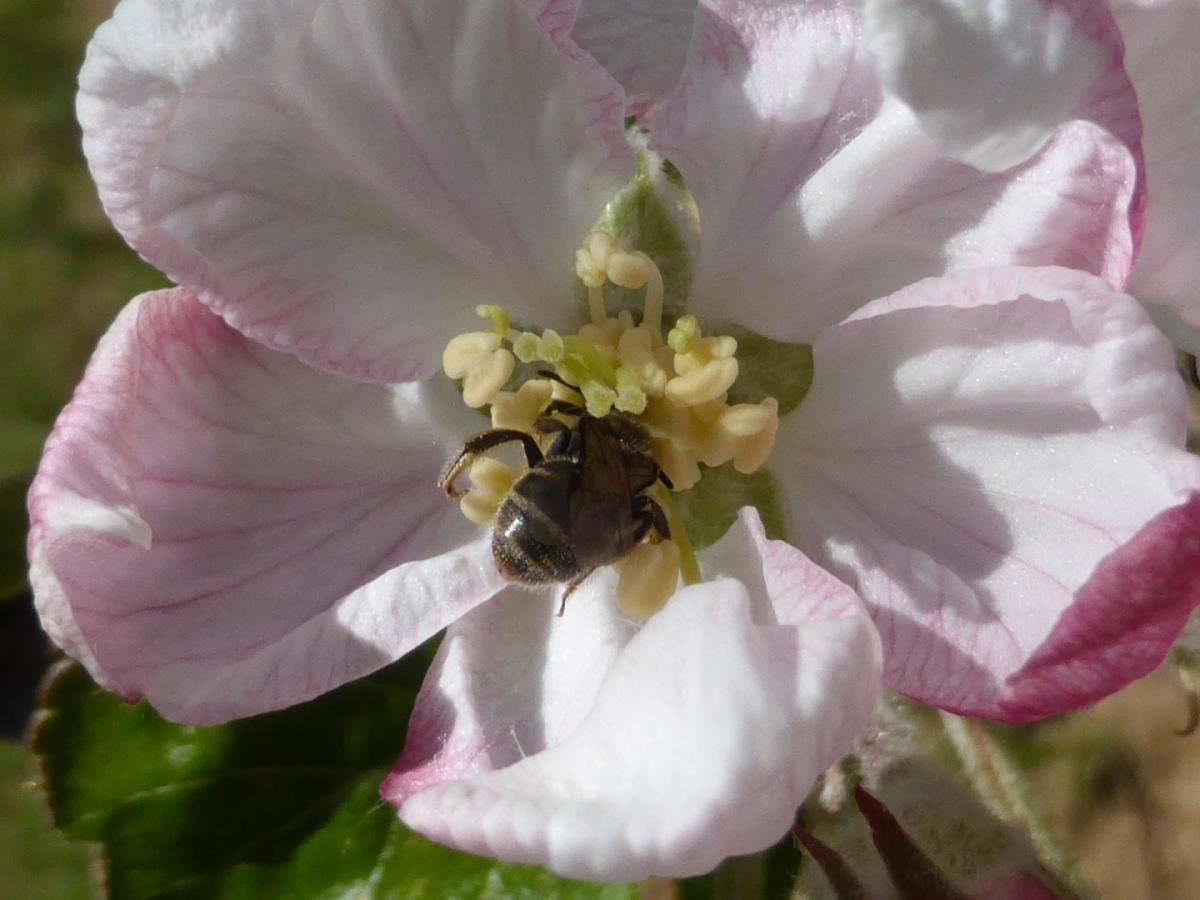 native bee pollinator