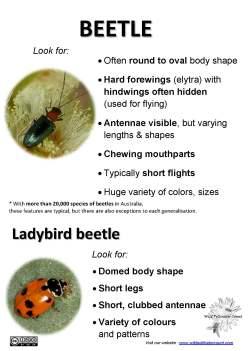 Beetle ID tips