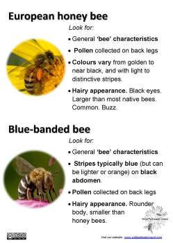 Honey bee and Blue-banded bee ID tips