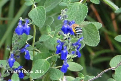 Blue banded bee on salvia, NSW