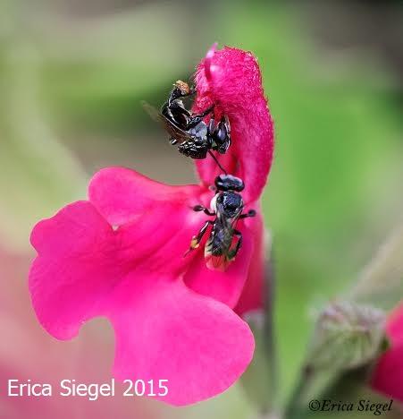 Stingless bees (Tetragonula carbonaria) on salvia, QLD