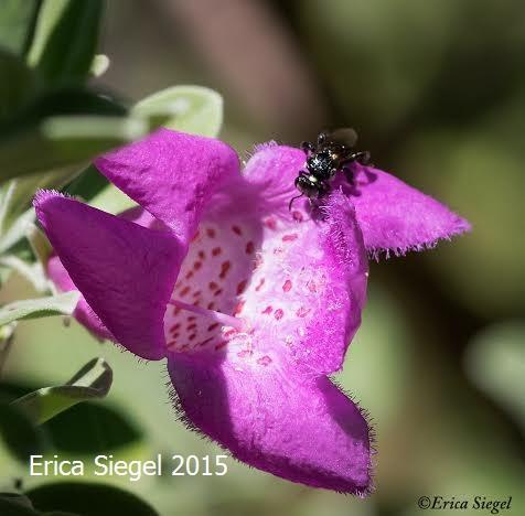 Stingless bee on Leucophyllum, Qld