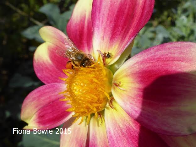 European honey bee (and ladybird beetle) on dahlia, VIC.
