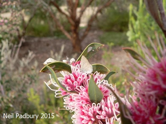 Butterfly on Hakea (Burrendong Beauty), VIC.