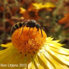 Hairy flower wasp on paper daisy, VIC.