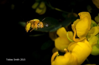 Teddy bear bee (Amegilla bombiformis) on Senna pendula, Qld.