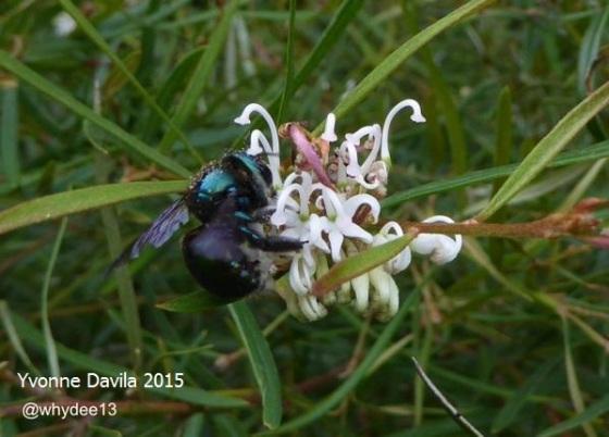 Metallic carpenter bee on white grevillea, NSW