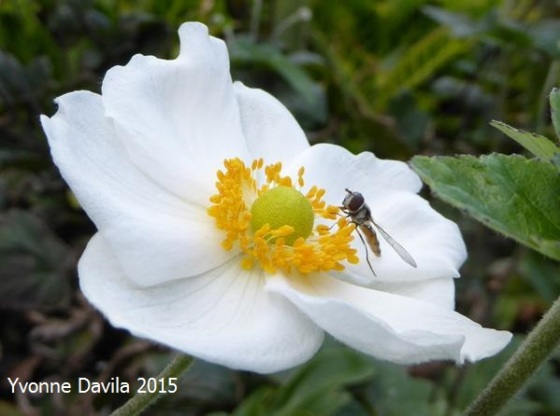 Common hoverfly on Japanese anemone, NSW