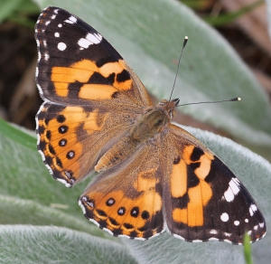 Aust Painted Lady butterfly