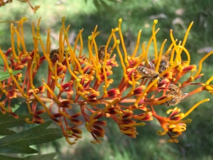 By Dan Jones: Silky Oak Bees