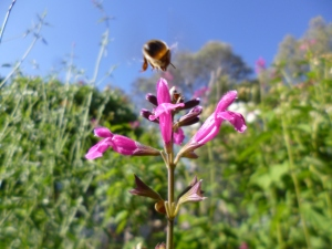 By Joanne Diver: Blurry bee and salvia