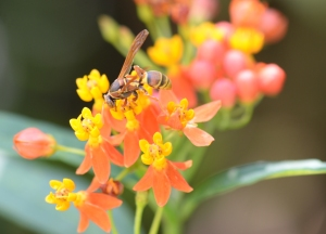 By Faye Arcaro: Paper wasp on milkweed