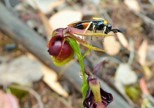By Iris Curran: sawfly on Flying Duck Orchid