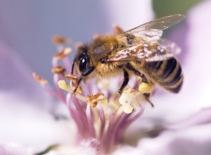 By Stephen Schilg: macro honey bee