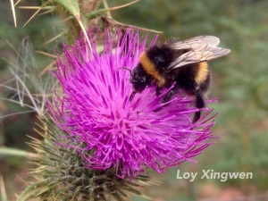The large earth bumblebee, Bombus terrestris, is now common across Tasmania. Here it visits an introduced thistle.