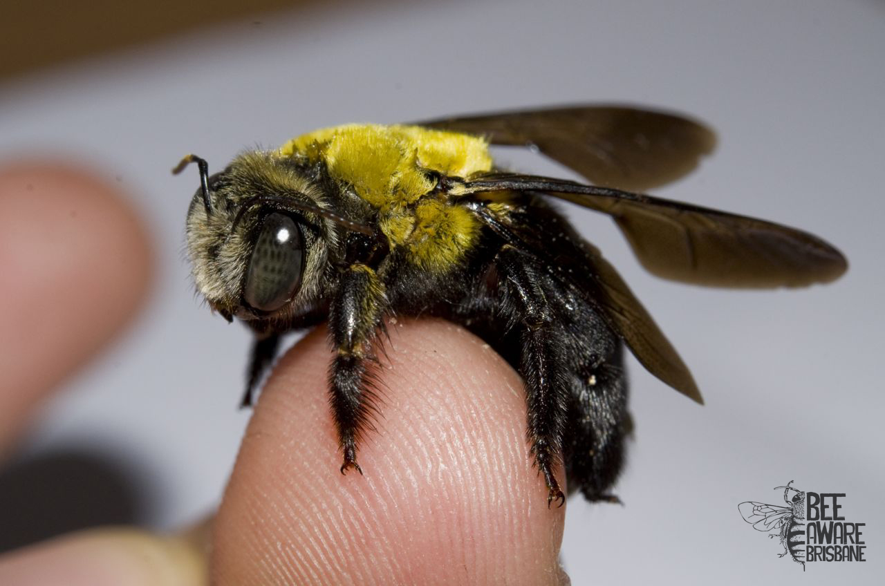 A pollination predicament Bumblebees and their presence