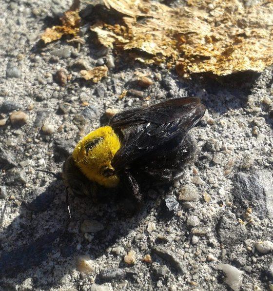carp bee