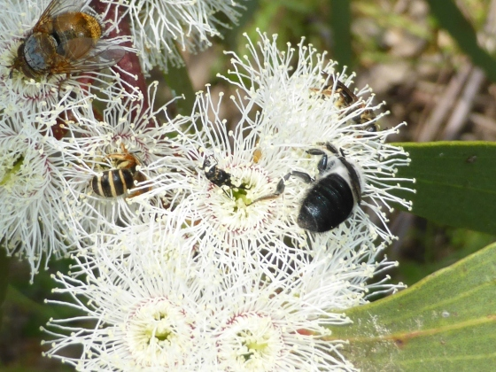 Native bees, flies, wasps and beetles sharing a flowering snow gum.