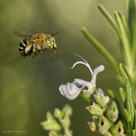 By Ann Davy ___ Blue-banded bee flight