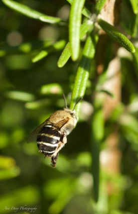 By Ann Davy ___ Blue-Banded Bee Rosemary-2
