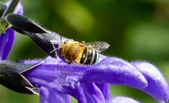 By Barb Mills__Blue-banded bee