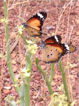 By Friends of the Australian Arid Lands Botanical Garden ___ butterflies on Sarcostema viminallis