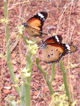 By Friends of the Australian Arid Lands Botanical Garden ___ butterflies on Sarcostema viminallis
