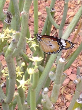 By Caroline Dart - Australian Arid Lands Botanic Gardens ___ butterfly on Sarcostema viminallis