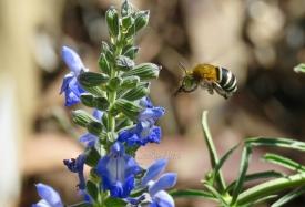 By Cathy MacNamara ___ Blue-banded bee