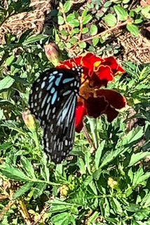 By Christine McLeod___Blue Tiger Butterfly