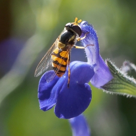 By David Pope___Hoverfly