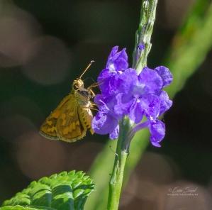 By Erica Siegel ___ butterfly_15.April-2018_3612