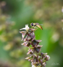 By Erica Siegel hoverfly_10.April-2018_3585