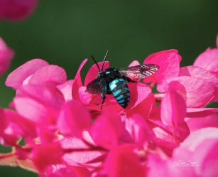 By Erica Siegel Neon-Cuckoo-bee_8.April-2018_3368