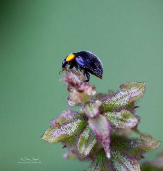 By Erica Siegel yellow-shouldered-ladybird_8.April-2018_3502