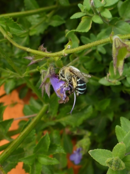 By Janet Russell ___ Blue-banded bee on Salvia