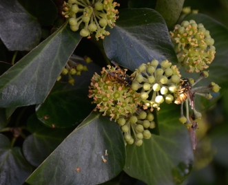 By Jennifer Stackhouse ___ European wasps on Ivy
