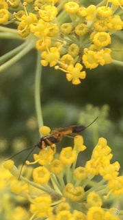 By Kristine Thomas___other wasps2