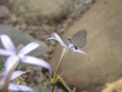 By Laurie M___Common grass blue