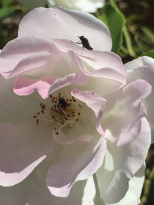 By Mark Hall___fly and beetle