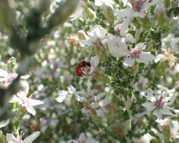 Exoneura spp. Red bottomed bees