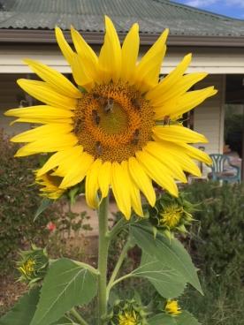 By yvettedenisedale___sunflower bees