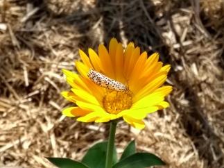 By Zibet ___heliotrope moth
