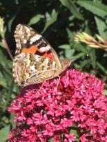 Australian painted lady butterfly by Samantha Ward