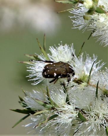 Brown flower beetle (Glycyphana stolata) by Nush Abikhair