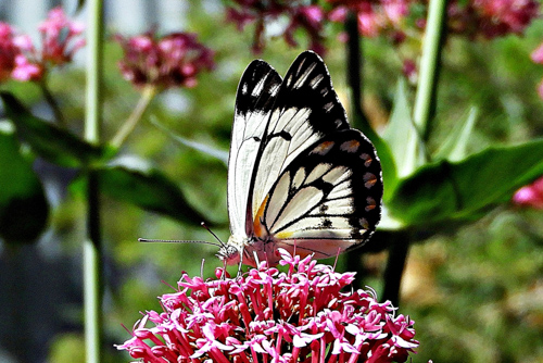 Caper White Butterfly on Valerian by Kay Muddiman