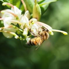 European honey bee by David Pope