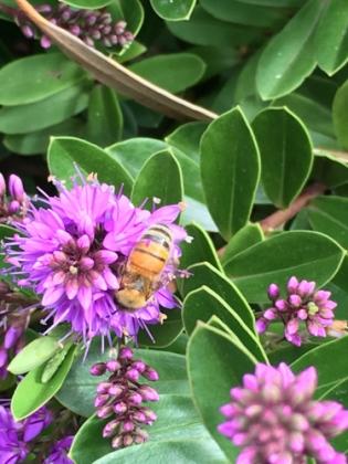 European honey bee by Jo Antrobus