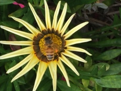 European honey bee by Tallowood Community Garden and Nursery
